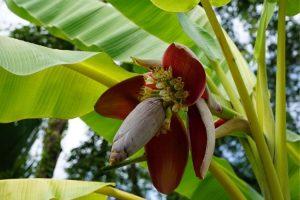 fleur de bananier et vieillissement