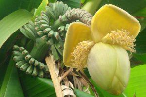 fleur de banane pour le traitement de l'hypertension