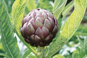plantes anti allergiques et anti inflammatoires